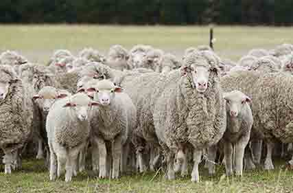 Merino-flock