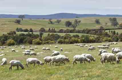 vic-sheep-10