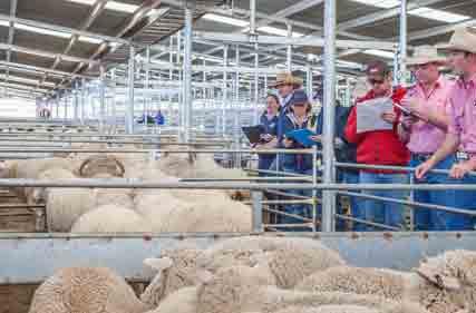 SELX-Sheep-23-Aug