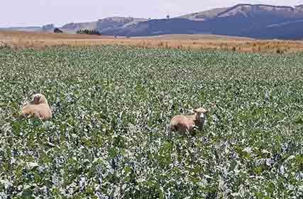 lambs-on-pasture