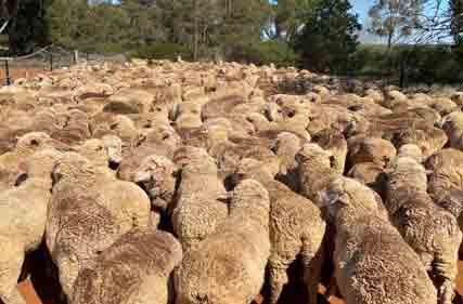 merino-lambs-methul