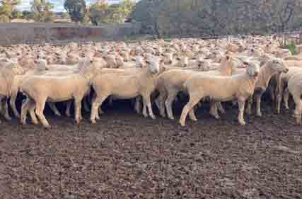 Crossbred-ewes-Tomingley
