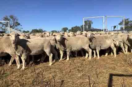 Merino-ewes-SIL-NSW