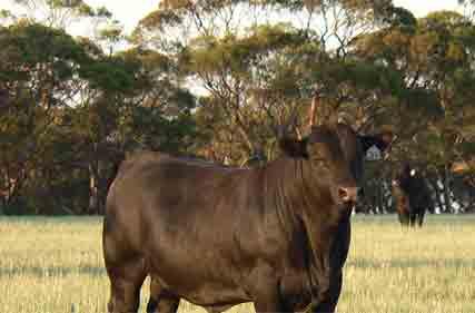 Angus-bull