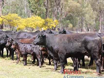 Heifers-and-calves-Ballimore-