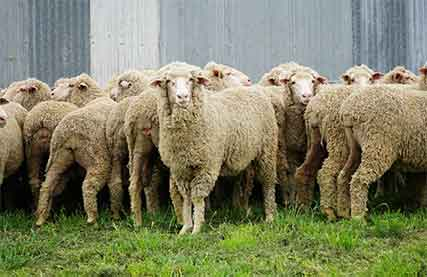 Mumblebone-ewes-record-